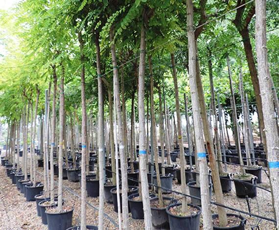Jardiner a benages vivero y servicios de jardiner a en for Palmeras decorativas exterior